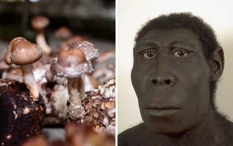 homo erectus hongos psicodélicos